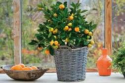 Мини деревья Agronova можно выращивать на подоконнике.