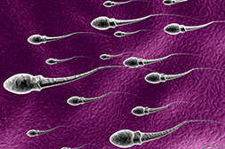 Мажун Ал Шифо повышает репродуктивную способность.